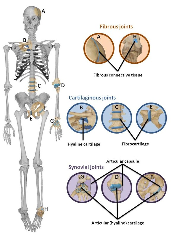 Condyloid Joint Examples More Information Djekova